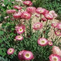 麦秆菊花种子 景观绿化观花植物花卉种子 花海种籽易种