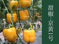 甜椒種子廠家直銷,早熟,高產抗病,京黃一號