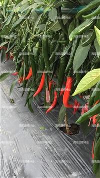 尖椒種子廠家直銷,海南紅玉,高產抗病果大