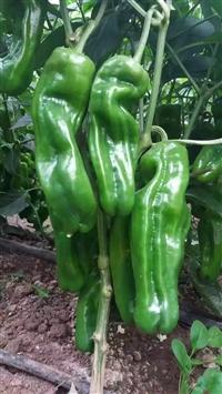 泡椒種子廠家直銷,早熟,翠綠薄皮,果大,綠翠5號