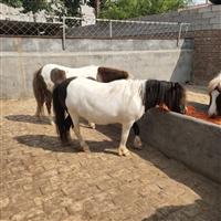 河北保定养马场   宠物矮马价格