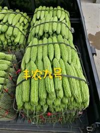 高產抗病突瘤苦瓜種子,廠家直銷,豐農九號