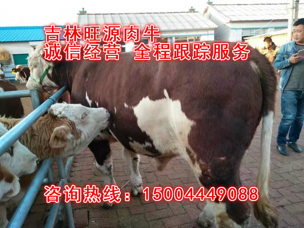山大型养牛场