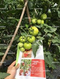 大番茄高抗病品種廠家直銷,江南紅2號