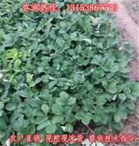 邵阳市草莓苗产地行情 湖南常德市奶油草莓小苗供货商