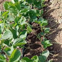 长沙市草莓苗大量批发报价 湖南常德市奶油草莓小苗供货商