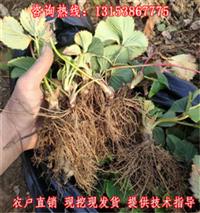衡阳市草莓苗大量批发报价湖南草莓苗
