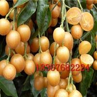 黄皮果苗 鸡心黄皮果树嫁接苗 无核黑黄皮果树果苗 当年结果盆栽