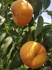 中蟠7桃树苗种植须知,中蟠7桃树苗良种批发