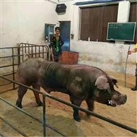 山西省 杜洛克仔猪 长白种猪厂家直销 富源牧业