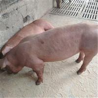 湖南省 杜洛克公猪 长白种猪 厂家直销 美系杜洛克公猪 富源牧业