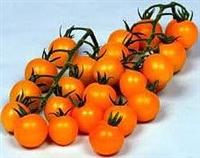紅櫻桃番茄種子  番茄種子廠家現貨供應