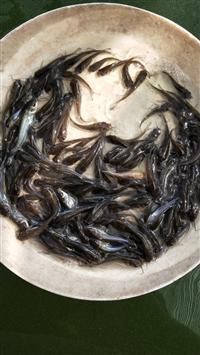 斑点叉尾鮰鱼苗 叉尾鮰鱼苗 鮰鱼苗 叉尾鱼苗 澳渔水产养殖场直销