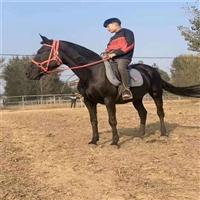 沈阳大型养马基地 出售精品骑乘矮马