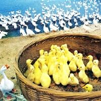 鹅苗供应/海南三沙皖西白鹅苗一只价格