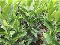091无核沃柑苗栽种方法 无核沃柑苗基地直发