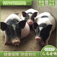 宠物香猪养殖场  宠物香猪的前景如何 香猪活体多少钱一对