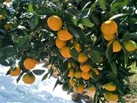 常德由良柑橘苗基地直供25万株由良果树苗
