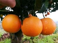 大型橙子苗基地千思农林 培育新优橙树苗千思5号香橙苗