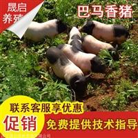 出售纯种宠物香猪 巴马香猪养殖前景怎么样 小香猪的价格多少钱