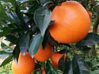 园丰脐橙苗规格、产品信息、种植方法 园丰脐橙苗价格