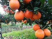 园丰脐橙苗相比纽荷尔脐橙苗 园丰脐橙苗价格