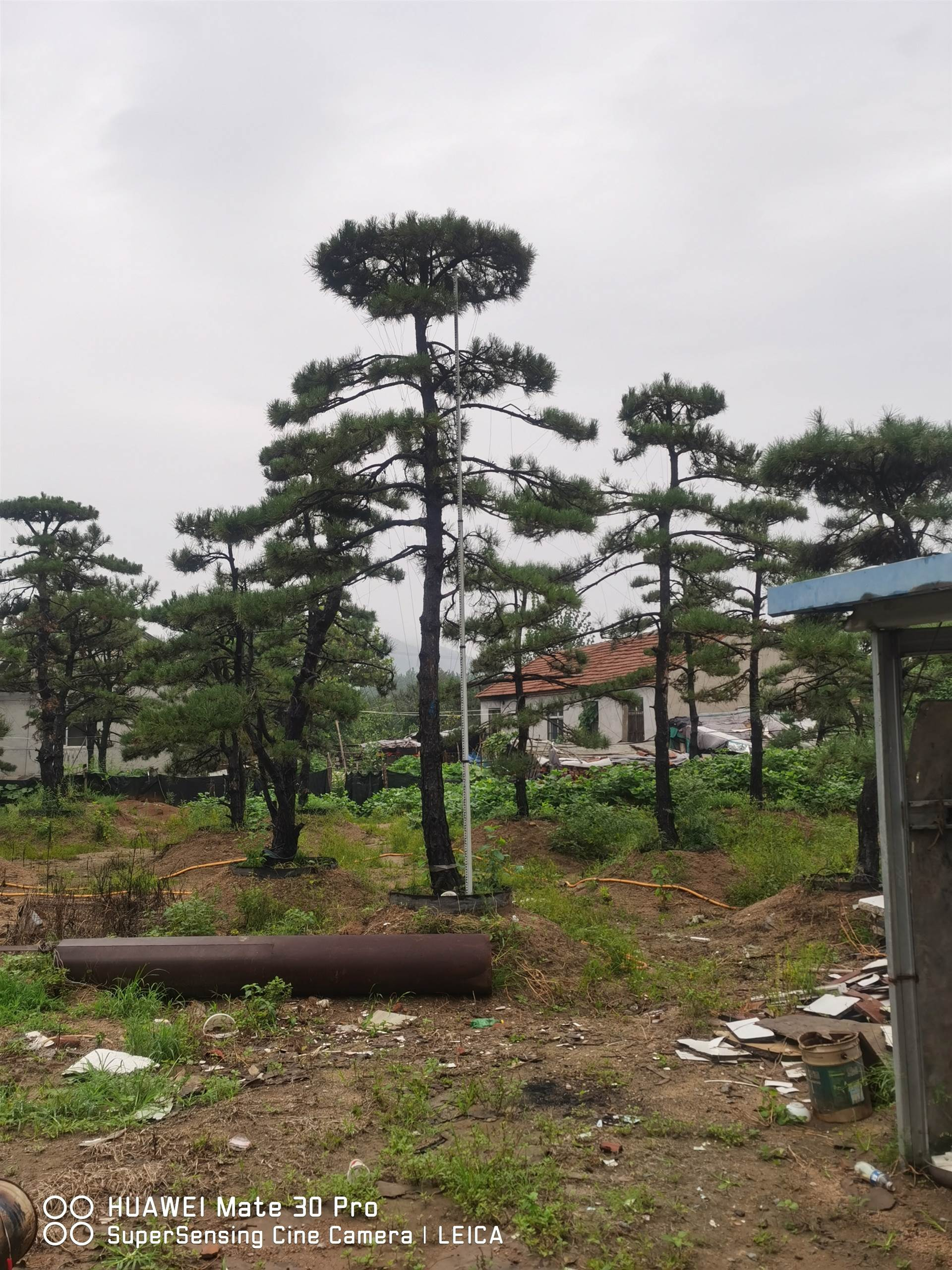 常青园林 造型油松  工程用2-15米规格齐全  品种齐全 树型优美