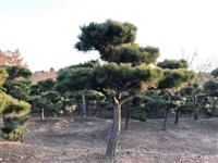 常青园林苗圃直供 油松  造型黑松 造型优美   欢迎来电