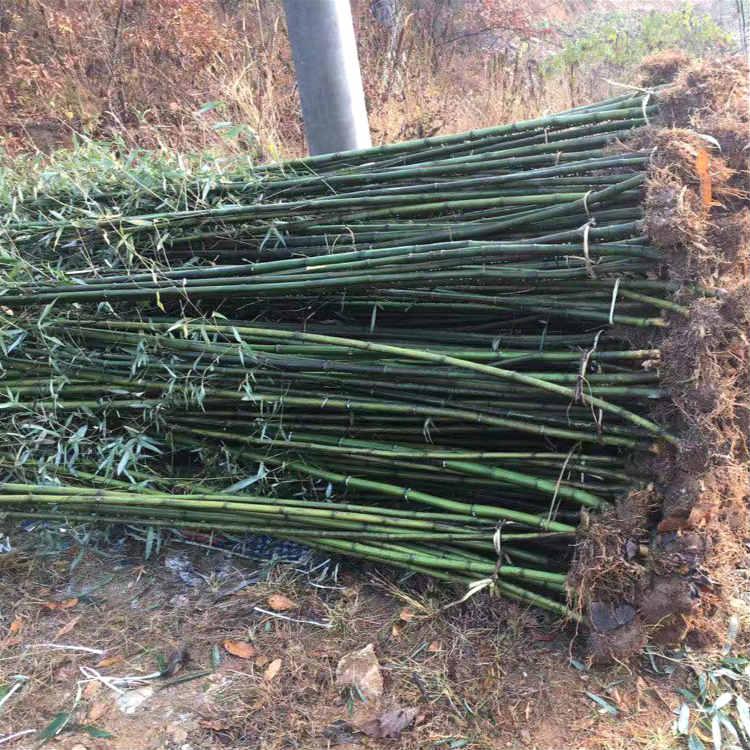 剛竹苗木基地 青竹袋苗 這里報價更便宜
