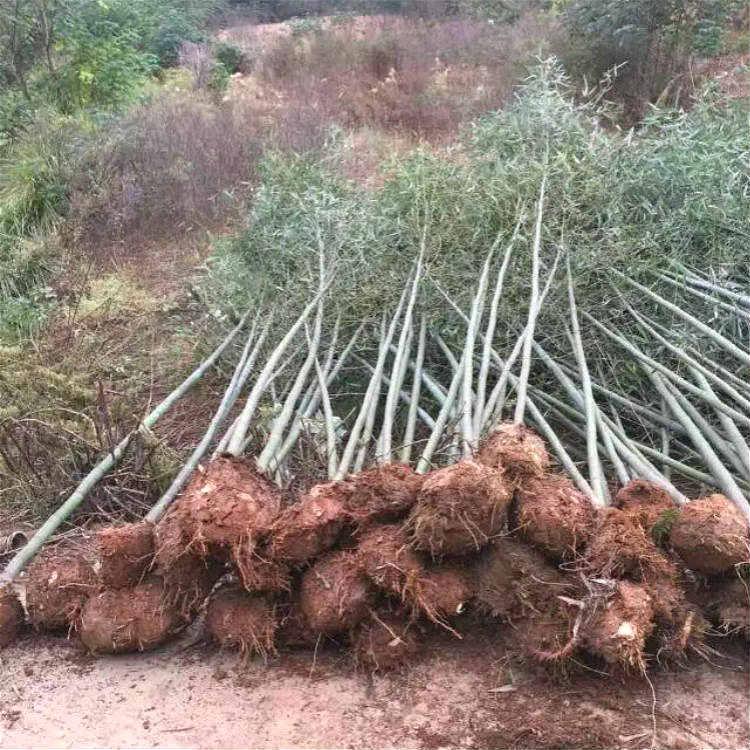 剛竹苗木基地 在線報價一鍵獲取