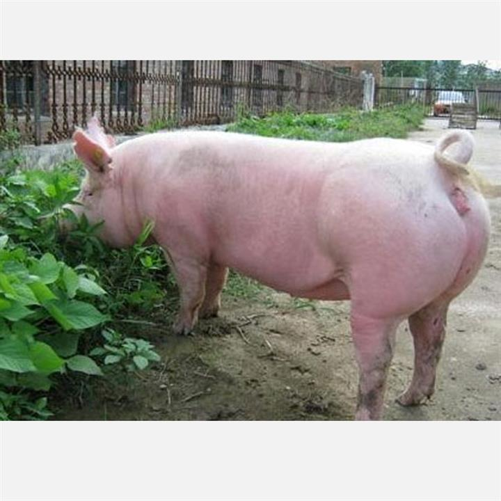 蘇太母豬基地 玖富太湖母豬 全國直供品種純優良豬崽