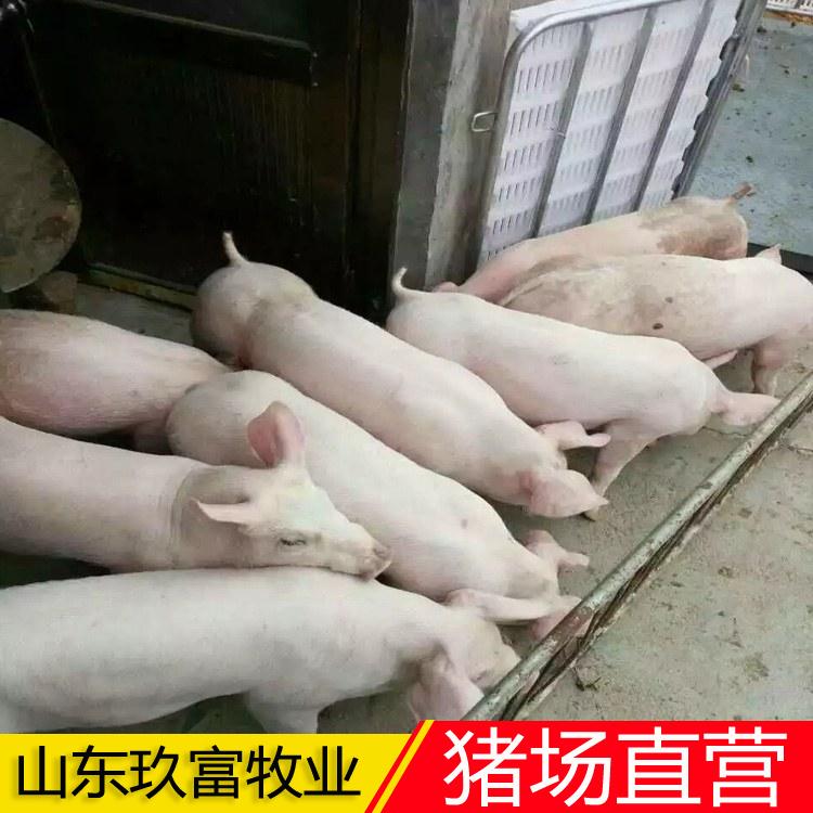 三元猪苗送货上门 猪苗 内外三元猪苗繁育基地