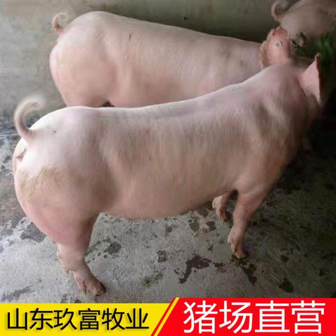 育肥猪苗基地 三元仔猪苗购买 优良二元母猪美系种猪
