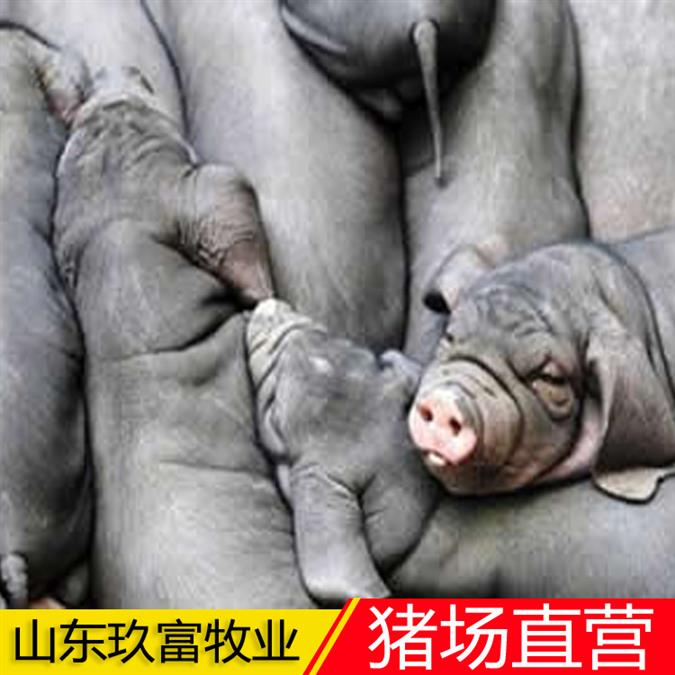 苏太母猪猪苗 量大从优 检疫齐全 货到付款