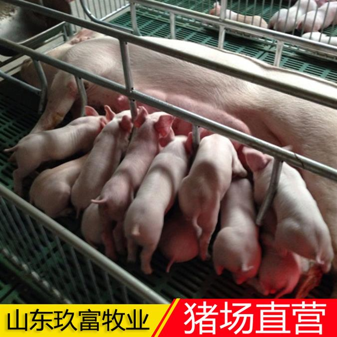 育肥豬苗圖片 玖富三元仔豬 養豬場直營經銷商
