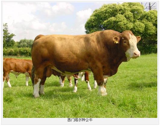 北京西门塔尔牛养殖技术 养牛场