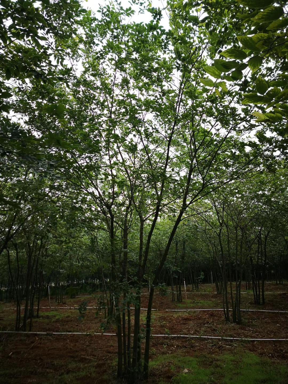 丛生朴树报价 移植朴树