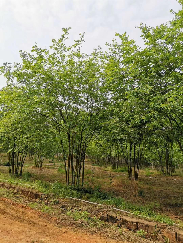 丛生朴树多少钱一棵 全冠朴树