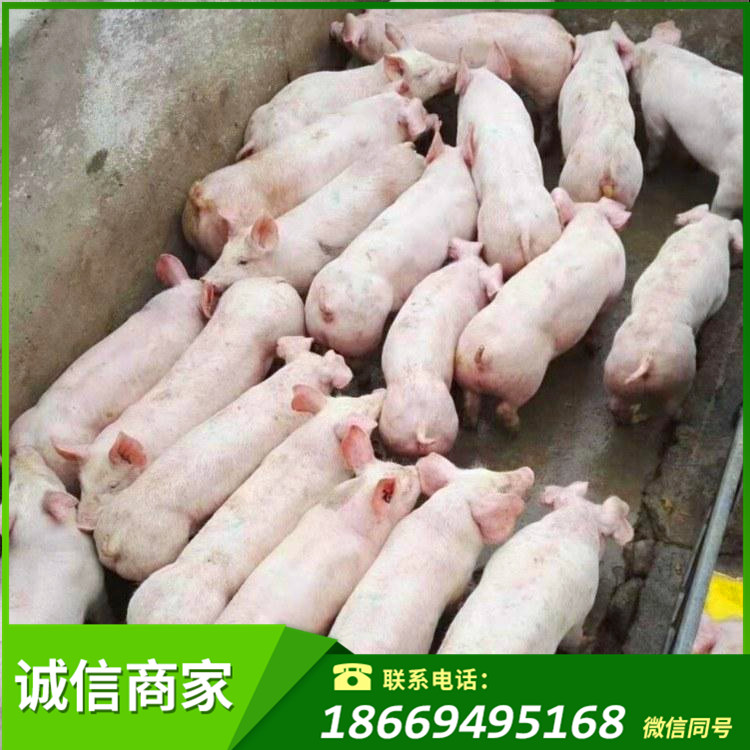 无锡山东苗猪价格 养猪场直营经销商