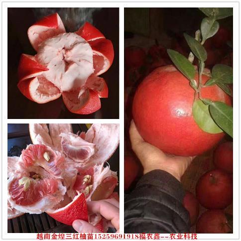 三红柚苗 越南金煌三红蜜柚苗 金煌三红柚子苗福农鑫种苗场