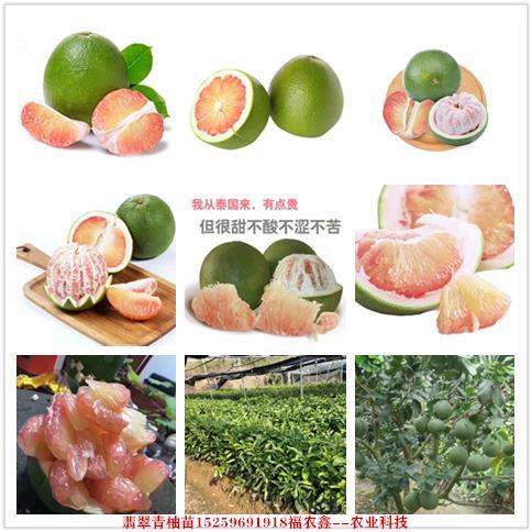 翡翠青柚苗 越南红心翡翠柚子苗 泰国红心翡翠柚子苗品种保证正宗
