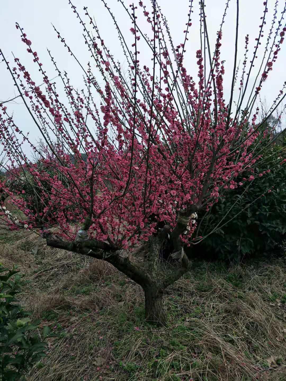 红梅树 12公分红梅树基地直销