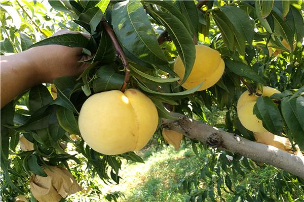 中熟桃樹苗 湖北大量供應毛桃樹苗 根系發達