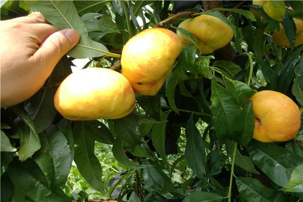 低價桃樹苗