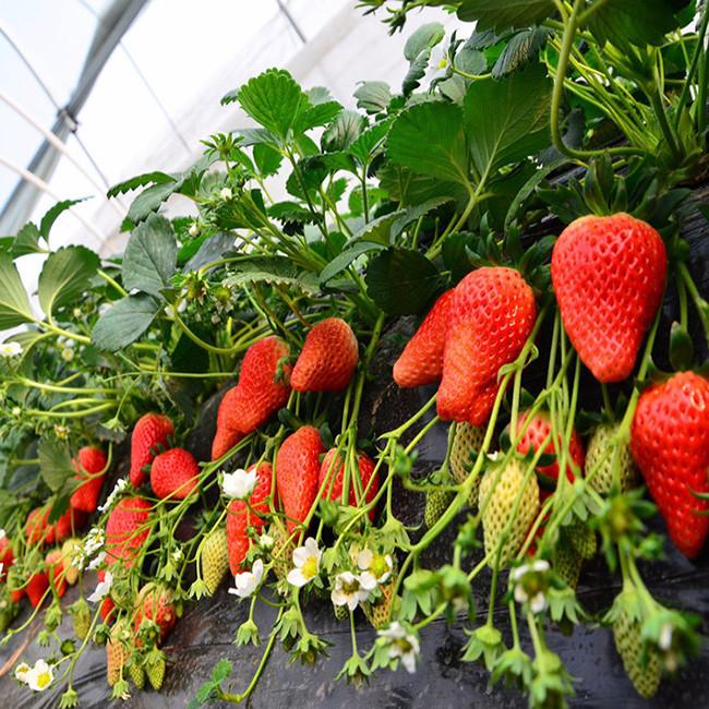 草莓苗 镇江草莓苗基地