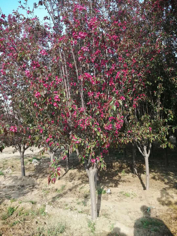 垂丝海棠树苗 桂林9公分海棠花树苗