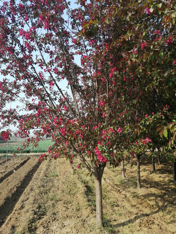 垂丝海棠树苗 包头北美海棠苗价格