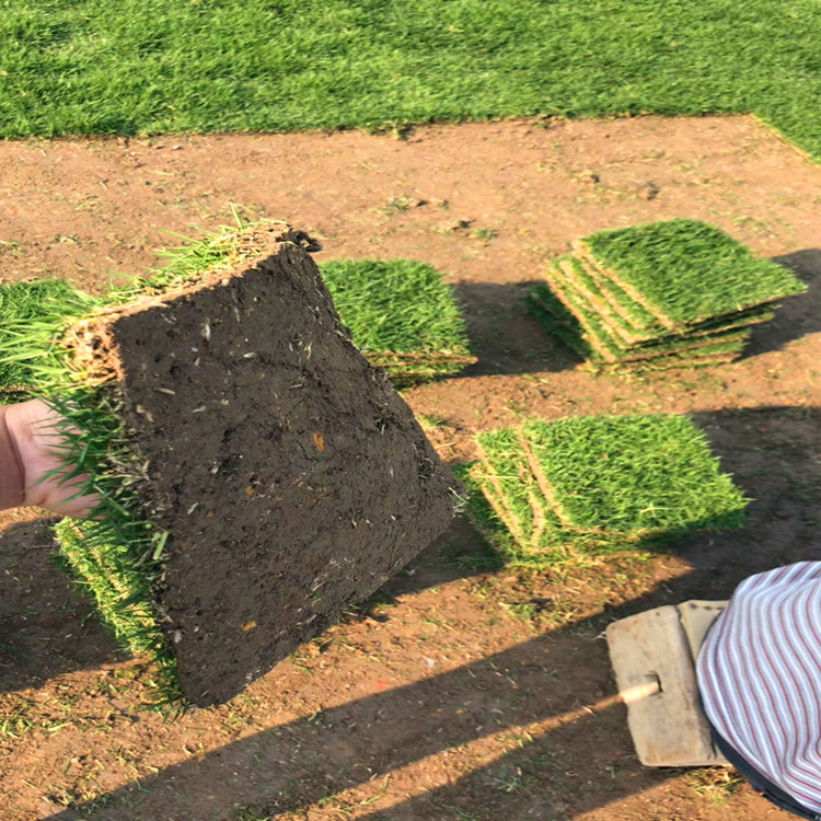 湖南台湾草皮种植方法 广西台湾草坪批发
