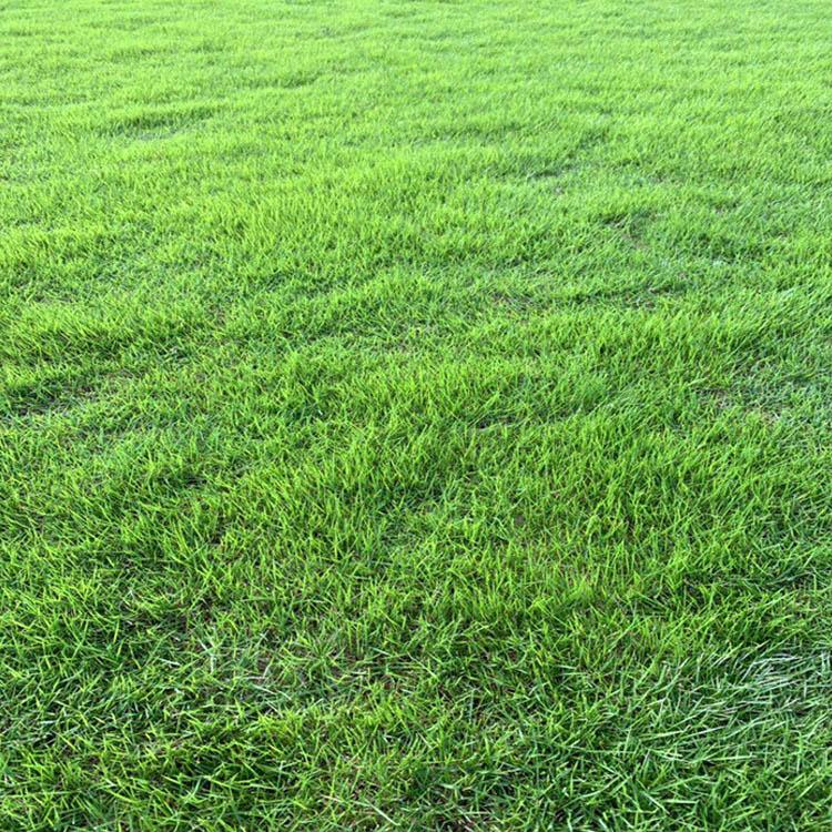 贵州台湾草皮批发 重庆台湾二号草坪繁殖方法