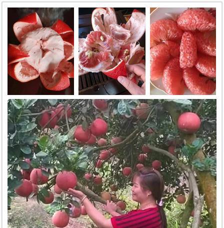 金煌柚苗 泰国金煌三红蜜柚苗 泰国金煌柚子苗成活率高